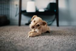 Curious dog on carpet